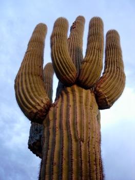 Old Saguaro